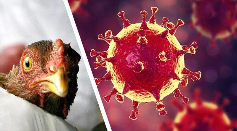 Как защититься от нового штамма птичьего гриппа