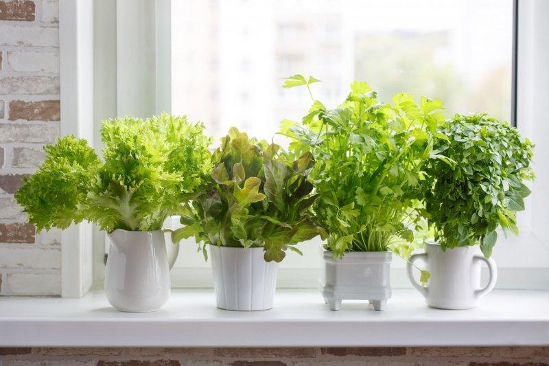 Пряные травы на подоконнике: для тех у кого нет садового участка