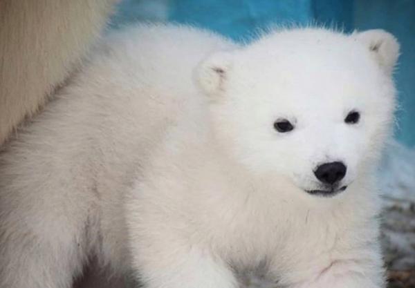 Новосибирская медведица Шилка осчастливила японцев двойней