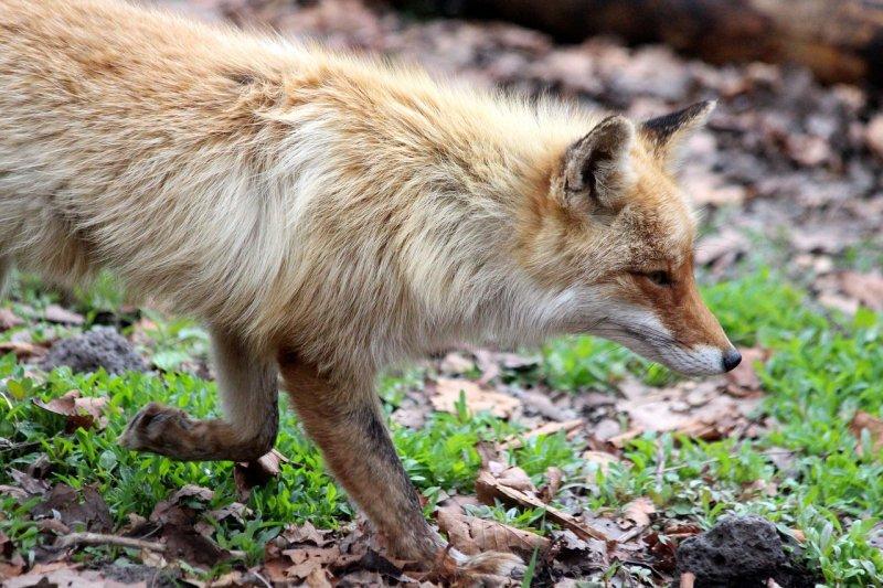 Лисиц и барсуков застрелят в лесах Новосибирской области из-за опасной болезни