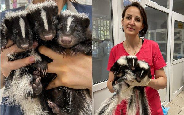 Милых скунсов новосибирские ветеринары сделали приятно пахнущими