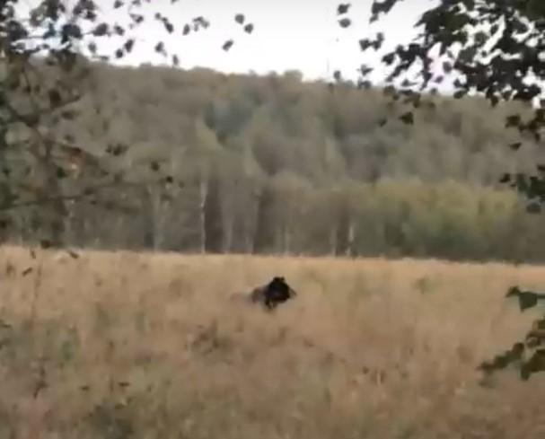 Огромного медведя обнаружили около деревни в Болотнинском районе (ВИДЕО)
