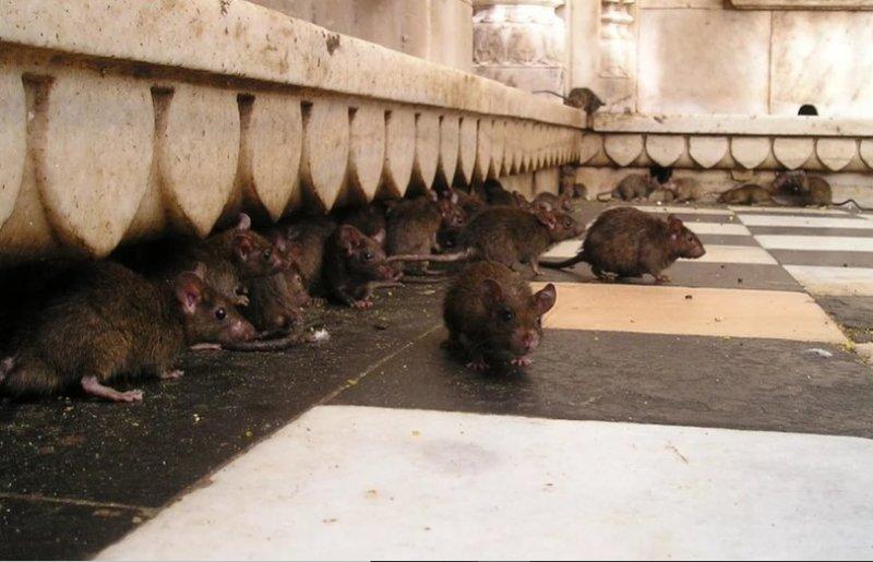 Крысы пришли «отужинать» в киоск с шаурмой в центре Новосибирска