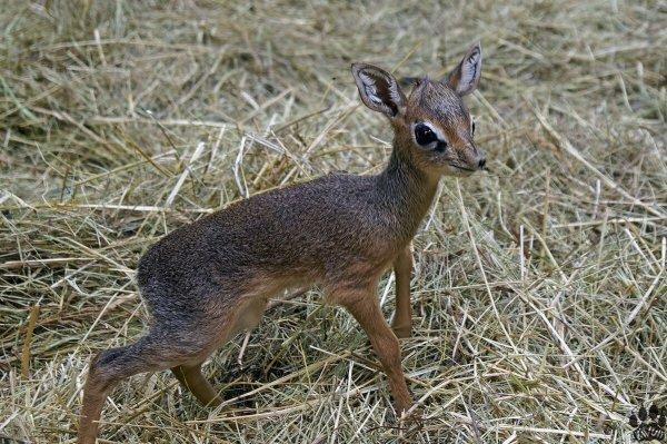 В Новосибирском зоопарке пополнение: у антилопы дикдик родилась двойня