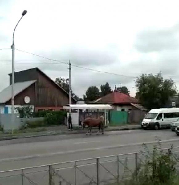 «От принца сбежала»: в Первомайском районе Новосибирска по проезжей части бегает лошадь