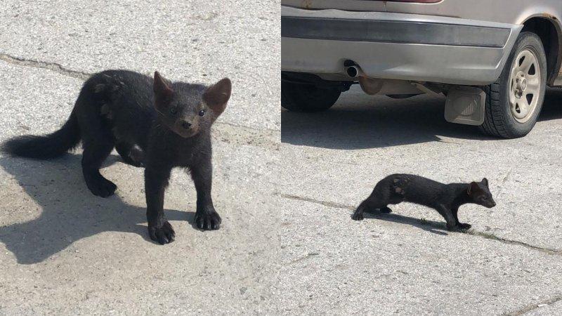 В Новосибирске ловят соболя: животное заметили очевидцы (ВИДЕО)