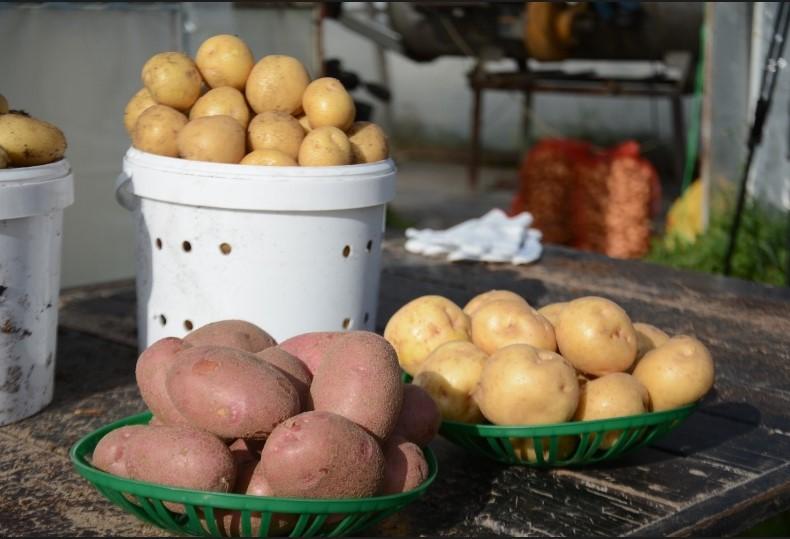 Новый сорт картофеля вывели ученые из Новосибирска