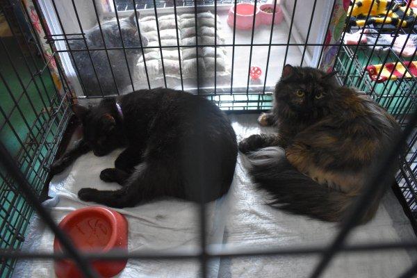 Бездомный мейн-кун и еще три кошки нашли хозяев в «День хвоста»