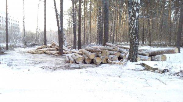 Онкоцентр или сосны: новосибирцы встали на защиту деревьев