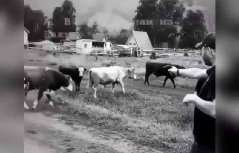 Алтайские полицейские нашли стрелка по коровам – им оказался судимый новосибирец