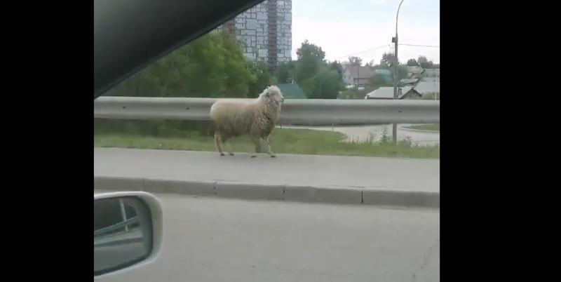 «Единственный нормальный» баран был замечен на Димитровском мосту