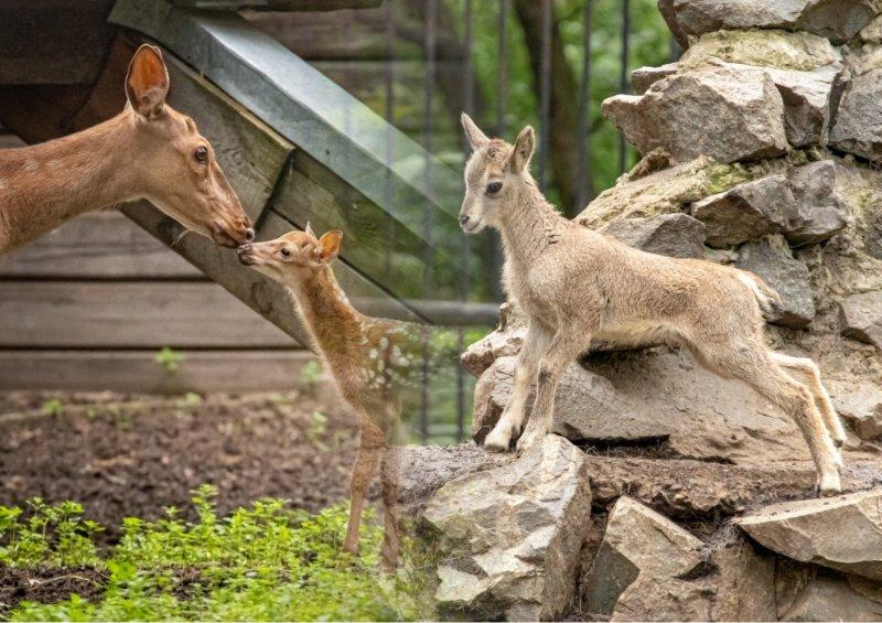 Бэби-бум у парнокопытных из Новосибирского зоопарка