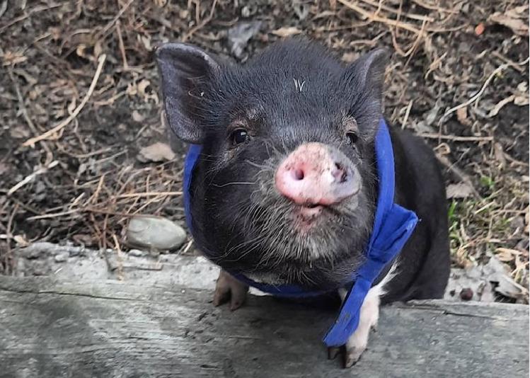 «Это не еда, это член семьи»: в Новосибирске сбежала карликовая домашняя свинья