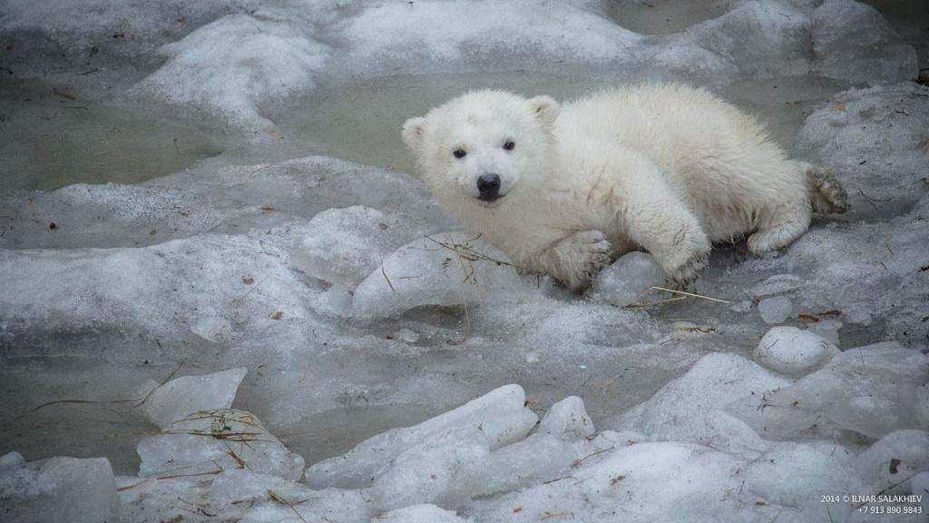 торжественный день медвежонок умка фото считается успешным, если