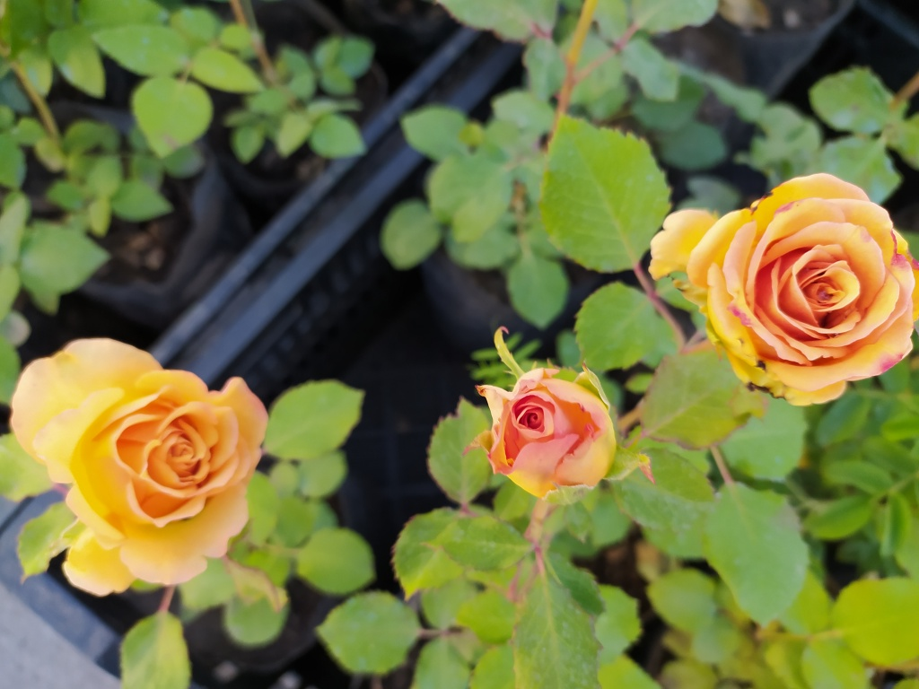 розы5.jpg