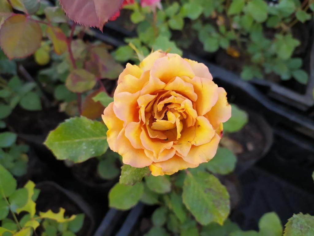 розы2.jpg